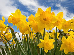 daffodillys