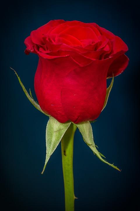 rose-266785_960_720